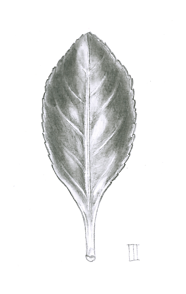 Final Euonymus leaf in graphite on Bristol board