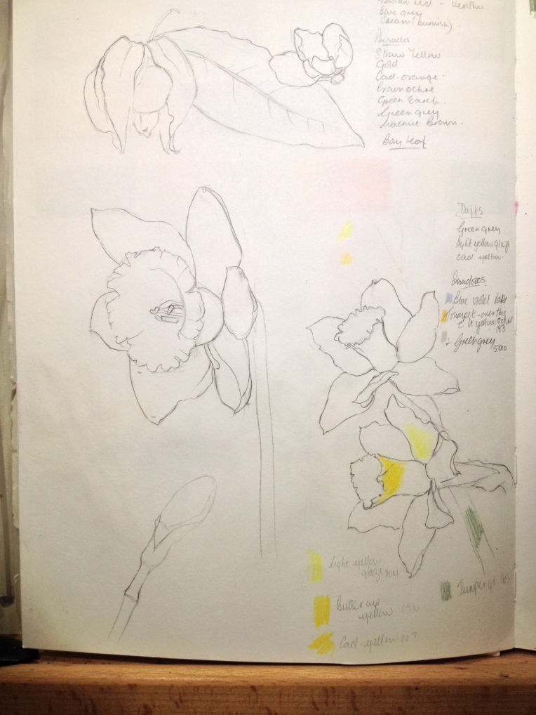 Daffodils from sketchbook