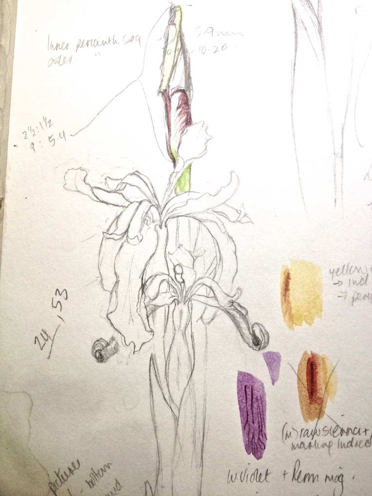 Stinking iris from Sketchbook. sketch & colour matching.