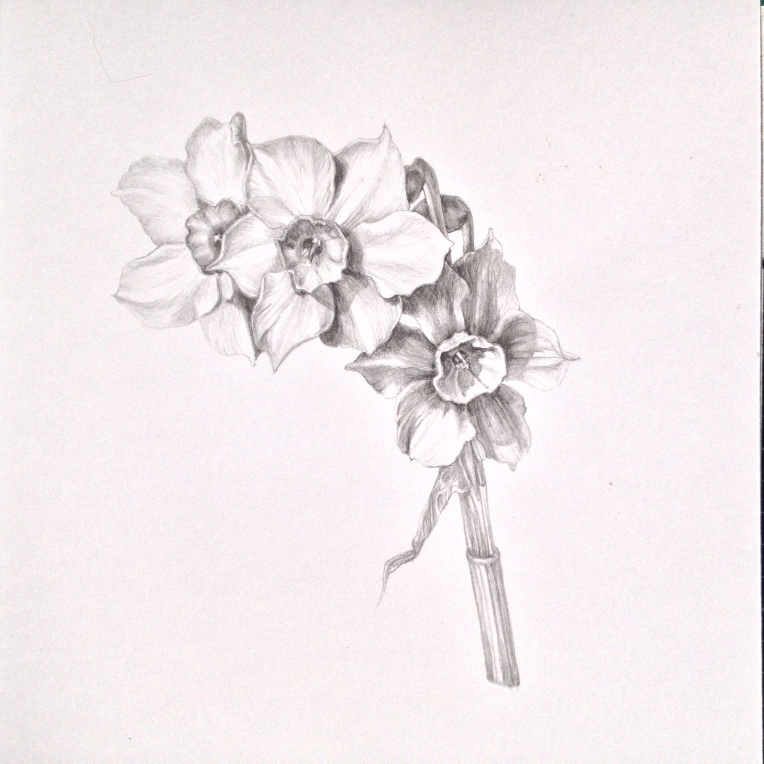 Jonquil flowers - graphite