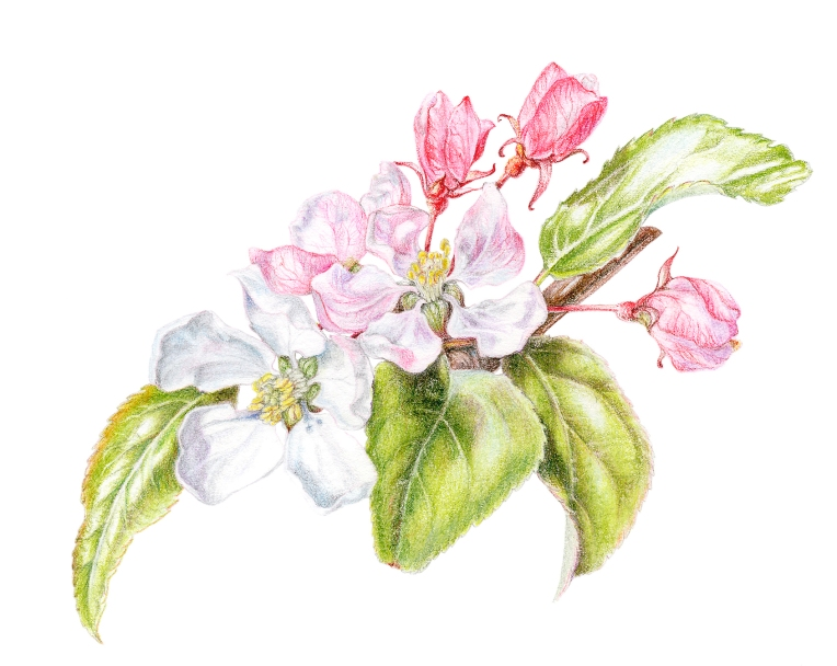 Malus Red Sentinel Blossom - Coloured pencil