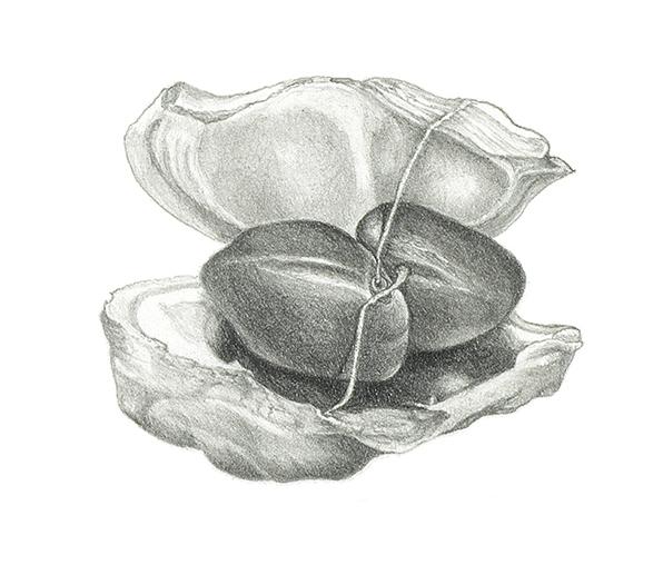 Magnolia x soulangeana seeds