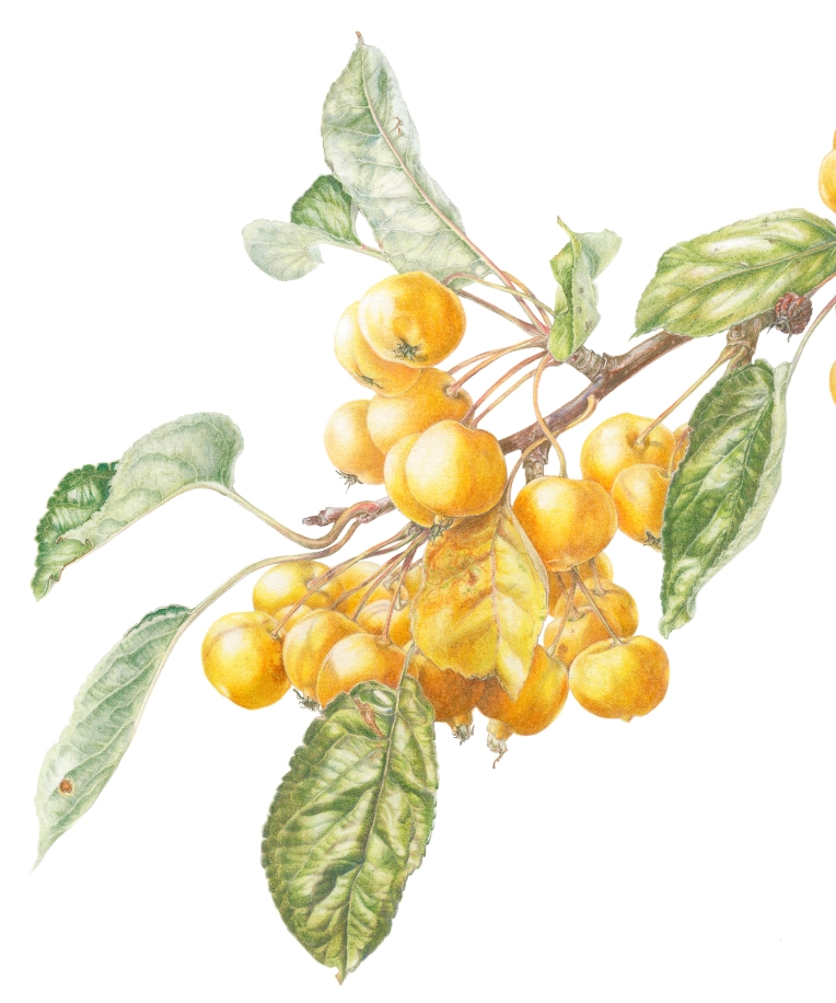 Malus x zumi 'Golden Hornet' crab apples in coloured pencil