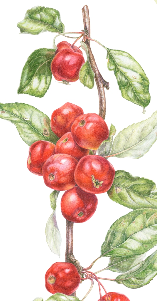 Malus x atrosanguinea 'Gorgeous' crab apples in coloured pencil