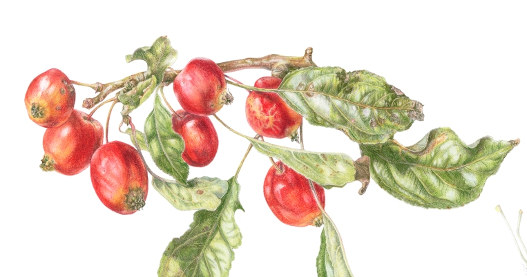 Malus x sylvestris 'John Downey', in Coloured pencil