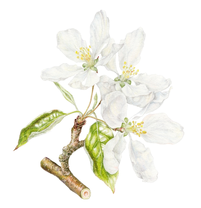 Malus x sylvestris 'John Downey' blossom- in coloured pencil
