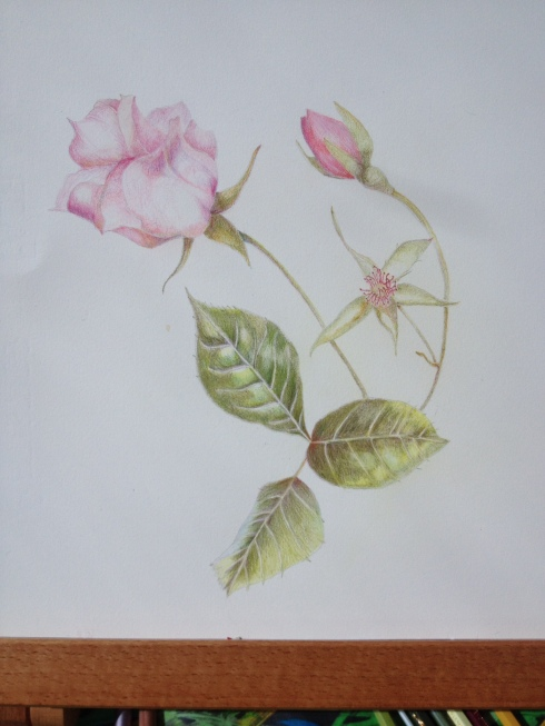 Dainty Bess. My favourite rose.