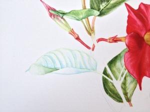 Mandeville leaf detail