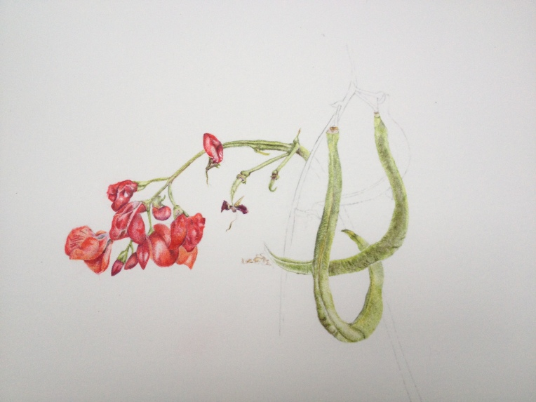 Runner Beans in coloured pencil