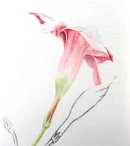 Dipladenia flower 1