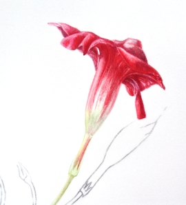 Dipladenia flower 2