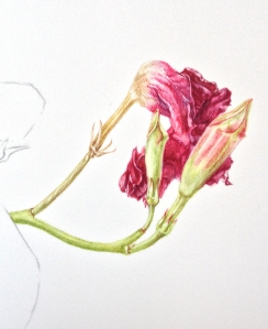 Dipladenia flower shrivelling & two buds.
