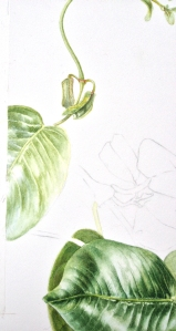 The start of a leaf and part of a tendril
