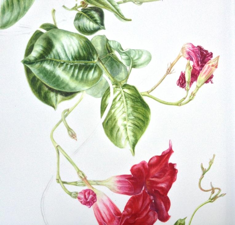 Last adult Dipladenia leaf