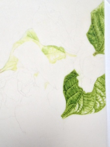 Runner bean leaves, first washes and details