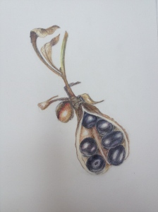 Tree Peoni seed capsule. Coloured pencil.