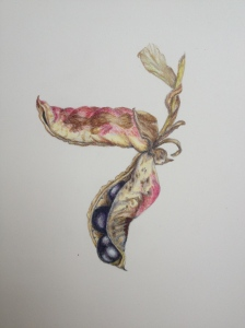 Tree Peoni seed capsule pair. Coloured pencil.