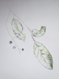 Portugese Laurel berries. Coloured pencil