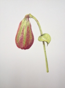 Lily seed capsule - Coloured pencil