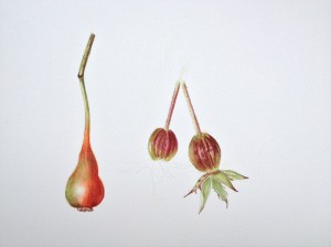Rose hips - Watercolour