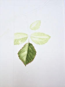 Rose leaf - watercolour