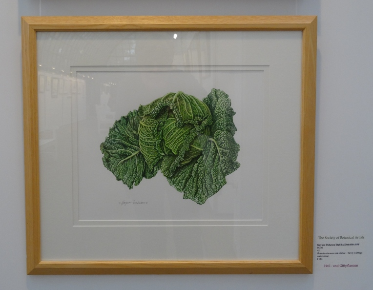 Brassica oleracea var. itlaica (Savoy Cabbage) in watercolour by Gaynor Dickeson