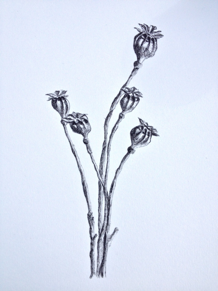 Dried Poppy seed heads