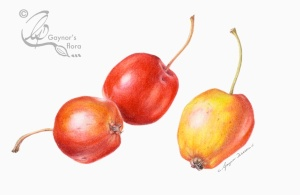 Two's company, three's a crowd - John Downey crabapples in watercolour.