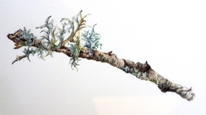 Gnarled birch branch with a variety of lichen forms. Watercolour.