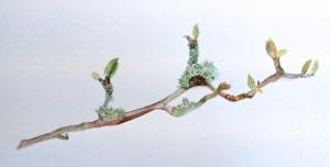 A branch of Magnolia stellata in watercolour.