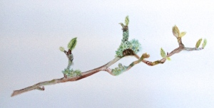 A branch of Magnolia stellata in watercolour.