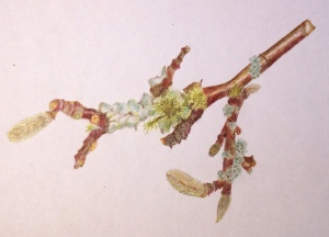 A variety of types of licjhen and moss on another branch from a Magnolia stellata tree. Coloured pencil.