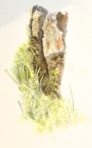 Start of a very complicated piece of work in Coloured pencil. The difficulty of portraying Cladonia cornuta amongst the other lichen growing on the bark piece. Quite a challenge.