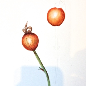 Rosehips in Watercolour