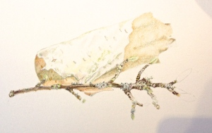 Both Birch twig and bark from a tree, with small amounts of lichen growing on it. Coloured pencil