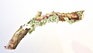 Branch with lichen very happily in situ. Watercolour