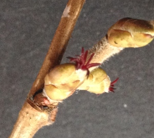 Hazel female buds in situ on the twig. Photo taken without the microscope.