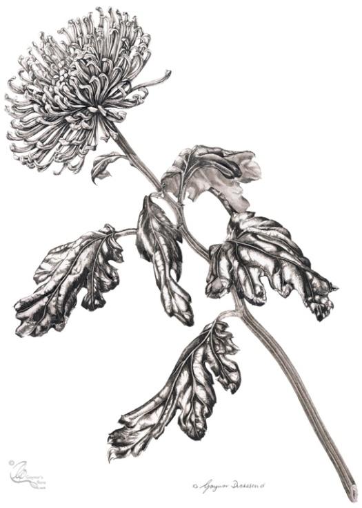 Curly Chrysanthemum 'Anastasia Green'