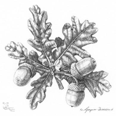 Quercus robur - 'A splendid oak'