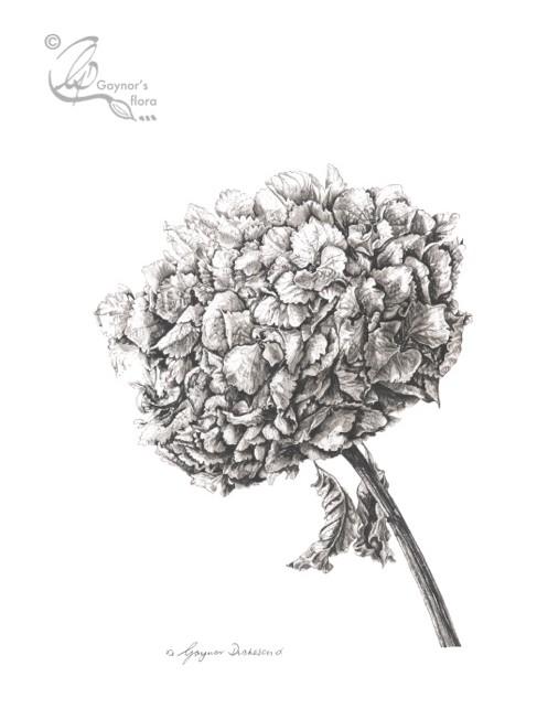 Large Hydrangea Head