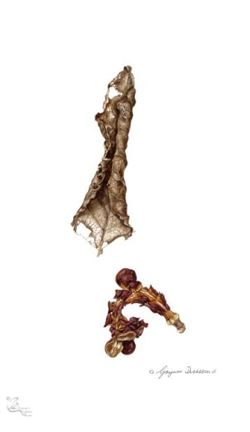 © Magnolia x soulangeana: Desiccated leaf and fruit case.