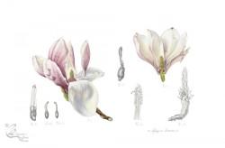 © Magnolia x soulangeana: Flower dissection