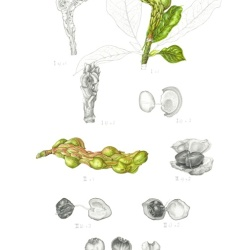 © Magnolia x soulangeana: Fruit dissection