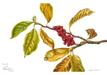 © Magnolia x soulangeana: Autumn leaves and fruit