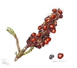 © Magnolia x soulangeana: Ripe fruit and seeds