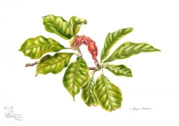 © Magnolia x soulangeana: Summer leaves and fruit.