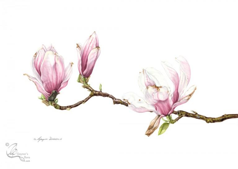 magnolia x soulangeana gaynorsflora. Black Bedroom Furniture Sets. Home Design Ideas