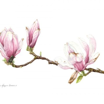 © Magnolia x soulangeana: Maturing Blooms
