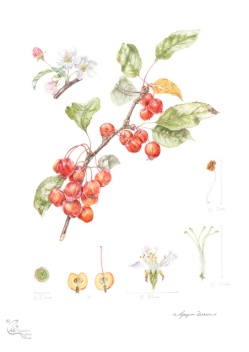 "Malus ""Evereste"" PERPETU in coloured pencil."