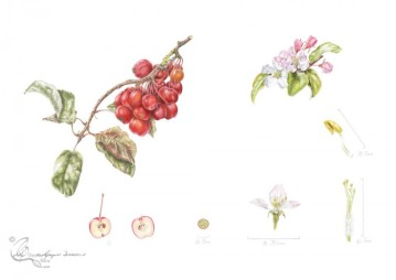 """Malus x robusta """"Red Sentinel"""" in coloured pencil."""